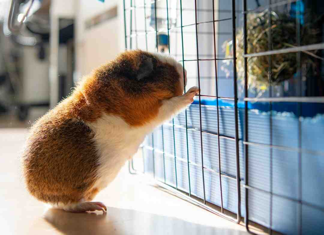 How to Choose Your Guinea Pig's Name