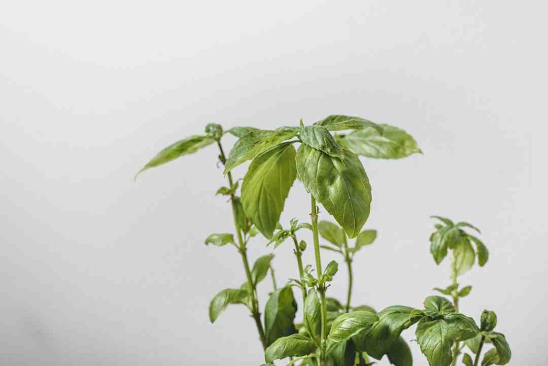 How to Care for a Basil Plant