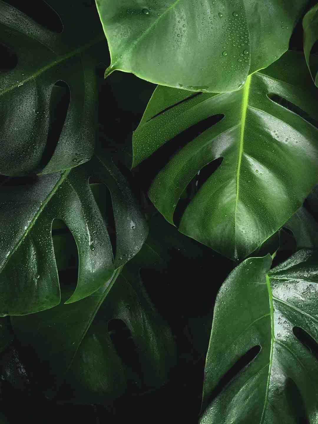 How to Prune Fiddle Leaf Fig